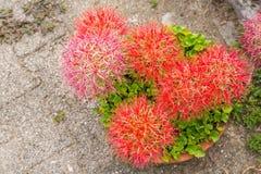 Fleur de lis d'aérolithe Image libre de droits