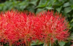 Fleur de lis d'aérolithe Photographie stock