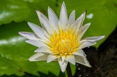 Fleur de lis d'eau blanche Photos stock