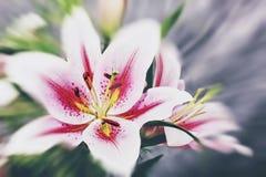 Fleur de lis de beauté Images libres de droits