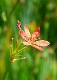 Fleur de lis de Blackberry sur le fond de nature de tache floue photo libre de droits