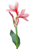 Fleur de lis de Canna Photographie stock libre de droits
