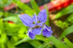 Fleur de lis de maxime de tectorum d'iris Photographie stock libre de droits