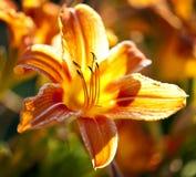 Fleur de lis de tigre Image libre de droits