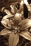 Fleur de lis de tigre Photographie stock libre de droits