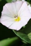 Fleur de liseron Image libre de droits
