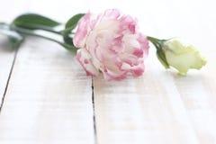 Fleur de Lisianthus, couleur rose de fleur de Lisianthus Photos libres de droits