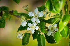 Fleur de lmond de ` d'Î photo libre de droits