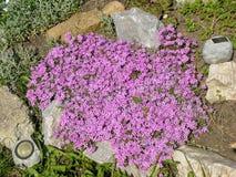 Fleur de lobélie dans le jardin de rocaille Images libres de droits