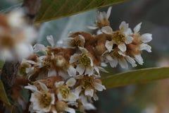 Fleur de Loquat Photo stock