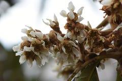 Fleur de Loquat Images stock