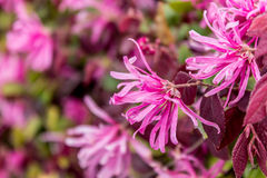 Fleur de Loropetalum au printemps Photos stock