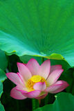 Fleur de lotus Image stock