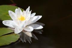 Fleur de lotus Images stock