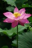 Fleur de lotus Photo libre de droits