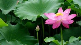Fleur de lotus banque de vidéos