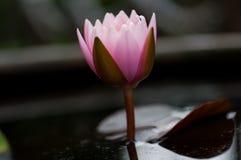 Fleur de lotus Photos libres de droits