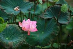 Fleur de lotus Photos stock