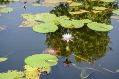 Fleur de lotus Photo stock
