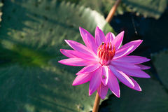 Fleur de lotus Photo libre de droits