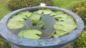 Fleur de lotus Photographie stock