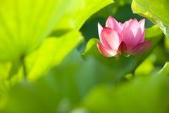 Fleur de lotus avec le vert au sol arrière gentil Images stock
