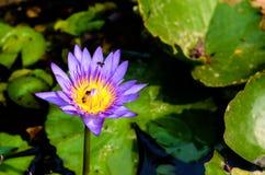 Fleur de Lotus, bel au sol de noir de lotus photos libres de droits