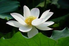 Fleur de lotus blanc Photos stock