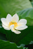 Fleur de lotus blanc Photographie stock