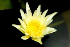 Fleur de lotus blanc Photographie stock libre de droits