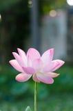 Fleur de lotus blanc dans l'étang, Photo stock
