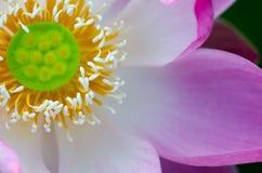Fleur de lotus blanc dans l'étang, Photos libres de droits
