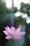 Fleur de lotus blanc dans l'étang, Images stock