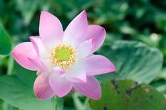 Fleur de lotus blanc dans l'étang, Photographie stock
