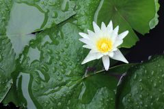 Fleur de lotus blanc dans l'atmosphère après la pluie, les flotteurs de lotus blanc sur l'eau de surface et beau frais de vert de photos libres de droits