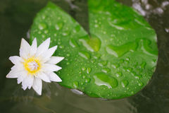 Fleur de lotus blanche de nénuphar Photographie stock
