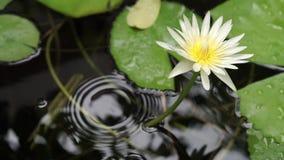 Fleur de lotus blanche et jaune banque de vidéos