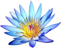 Fleur de lotus bleu de floraison d'isolement sur le fond blanc Photographie stock