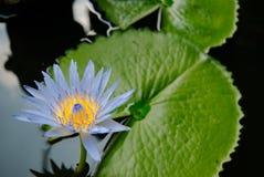 Fleur de lotus bleu (l'eau lilly) avec le foyer mou photos libres de droits