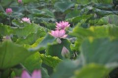 Fleur de lotus de champ de Lotus Photo libre de droits