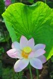 Fleur de lotus de champ de Lotus Photographie stock