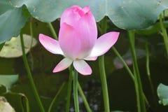 Fleur de Lotus chez Wun Chuen Sin Kwoon en Hong Kong Photo stock