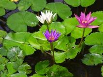 Fleur de lotus colorée de trois nénuphars Image libre de droits