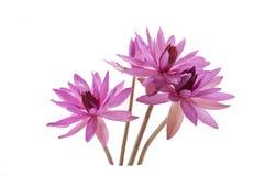 Fleur de lotus d'isolement sur le fond blanc Photo stock