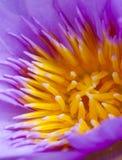 Fleur de lotus d'ouverture Images libres de droits