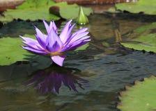 Fleur de lotus dans l'étang Image libre de droits