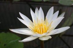 Fleur de Lotus dans l'étang, couleur de ton de vintage Photos stock