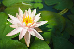 Fleur de Lotus dans l'étang, couleur de ton de vintage dans le lever de soleil de matin Image libre de droits