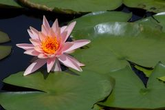 Fleur de Lotus dans l'étang, nénuphar en gros plan photo stock