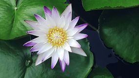 Fleur de Lotus dans l'eau Photos stock